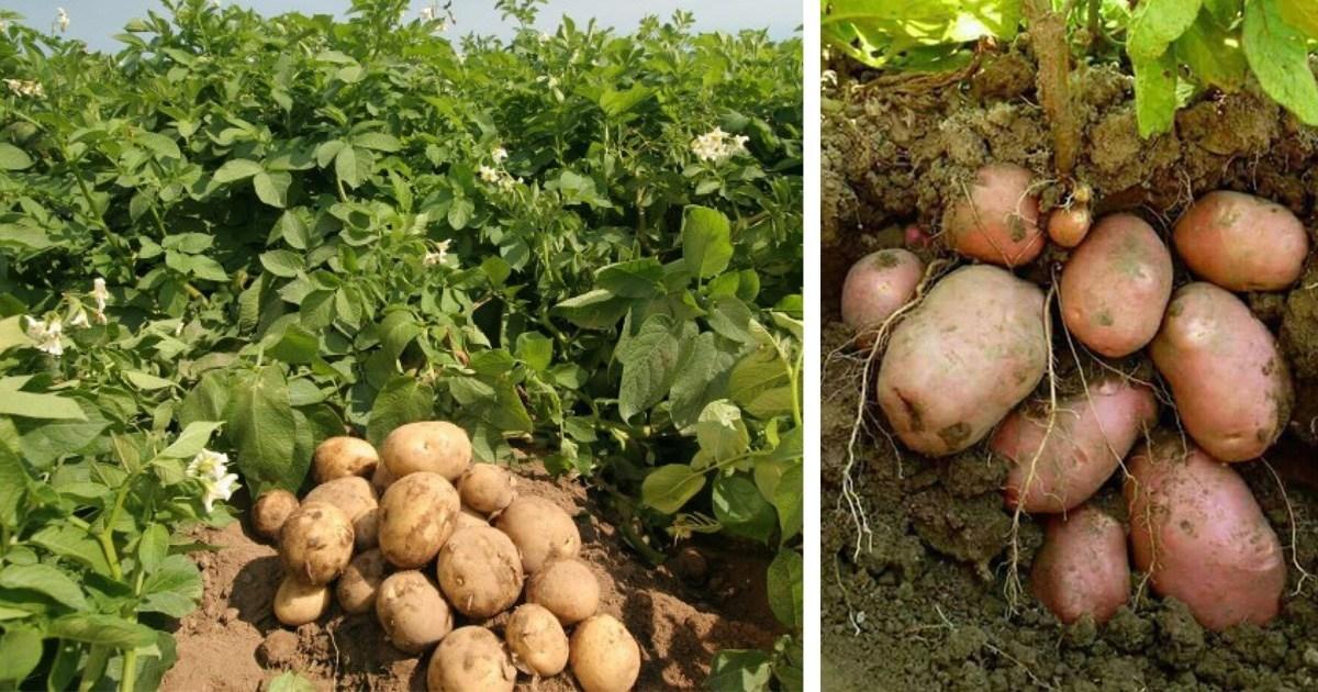 स्थानीय बजारमा पसलैपिच्छे फरक फरक मूल्यका कारण किसान मर्कामा परेका हुन् ।